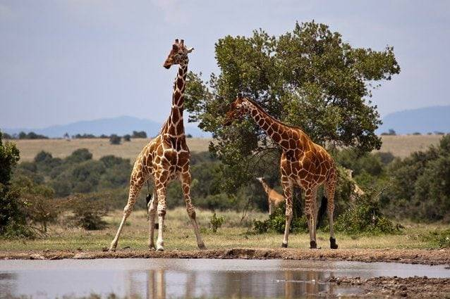 Giraffa nubiana. Credit: Doug Belshaw